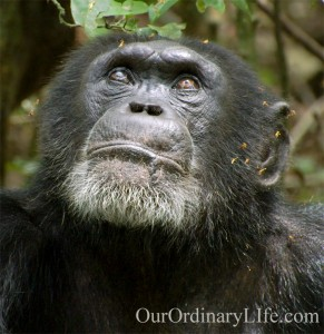 Disneynature Chimpanzee Freddy