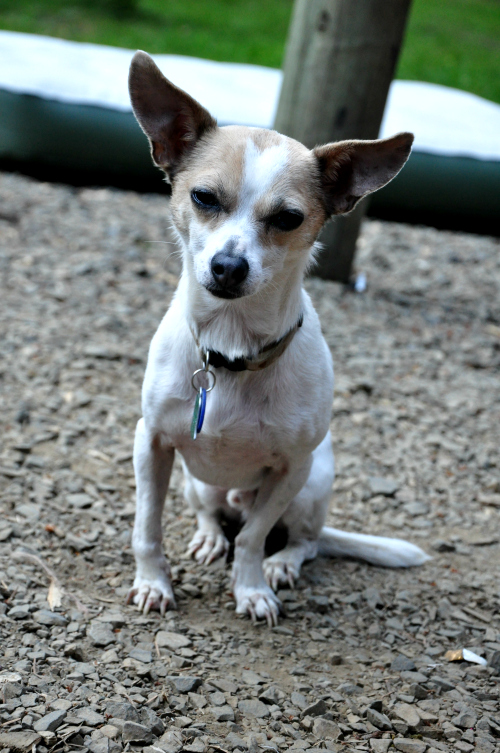 Small White and brown Chihuahua Terrier Mix