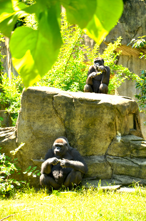 Younger and older gorillas at The Cincinnati Zoo & Botanical Garden