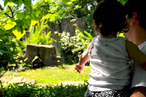 My 2 year old pointing out the Gorilla The Cincinnati Zoo & Botanical Garden