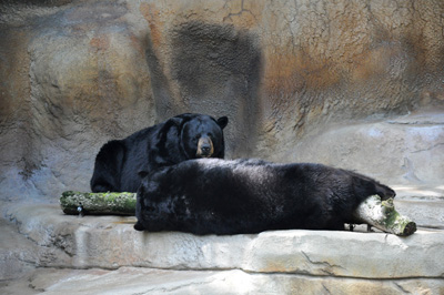 Grizzly bears lounging The Cincinnati Zoo & Botanical Garden