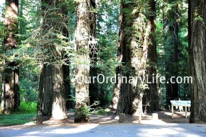 Many groves to visit along the Avenue and in the Sequoia National Forest