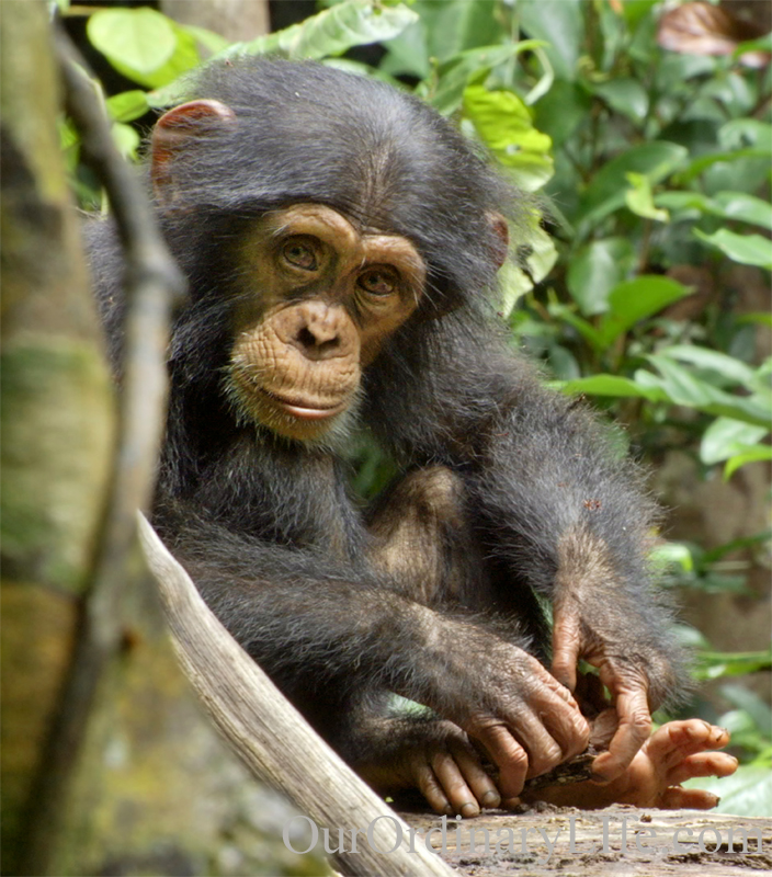 Disneynature Chimpanzee Oscar