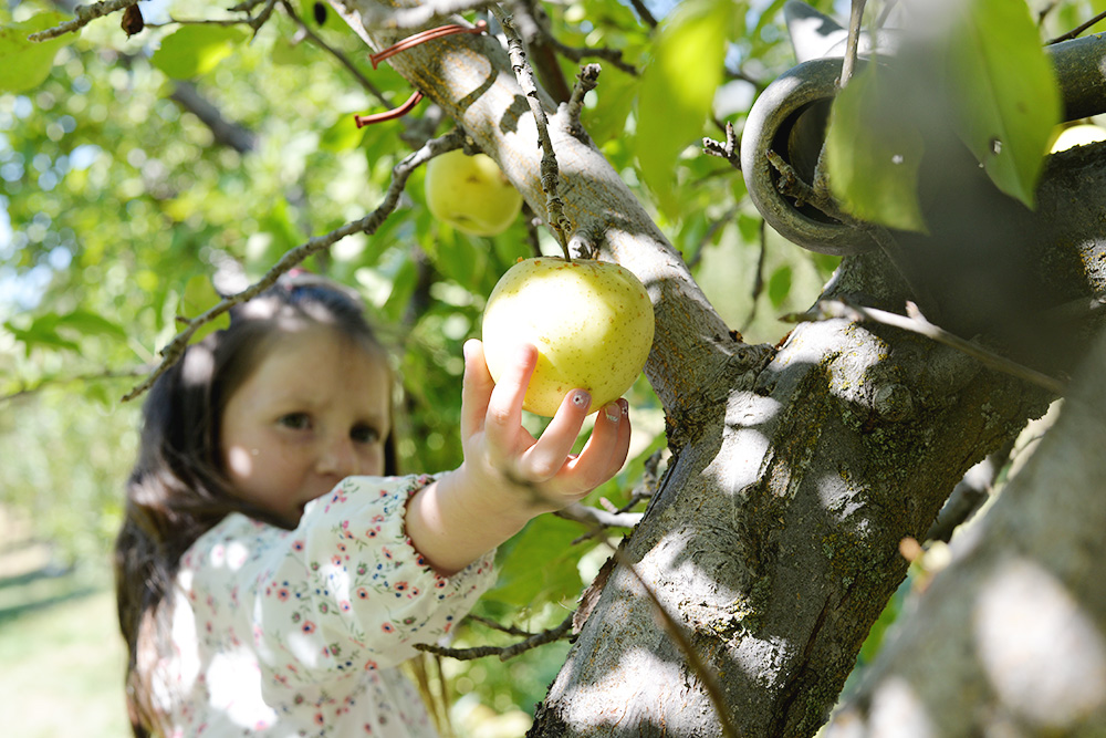 little girl picking apple in hand apple farm california